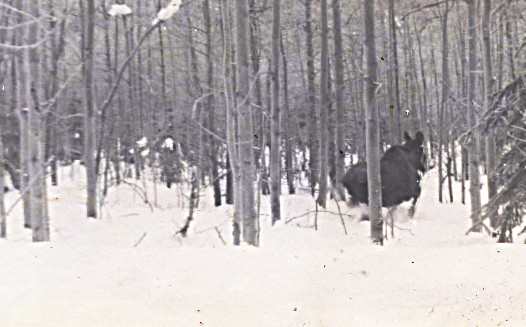 1959 moose in snow -- a winter's worth of meat -- on the hoof, in my tummy, I just love moose!