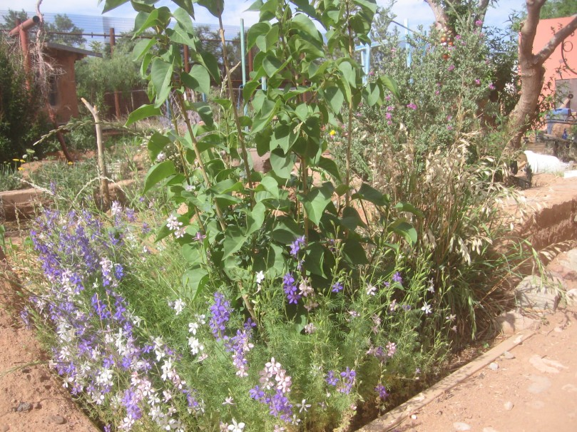 Lilac (with Larkspur) - in our climate is alive and growing - doubt it will ever bloom
