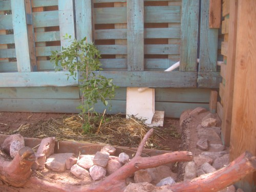And - yes - now the white hose drains the rain water (it WILL rain here soon!!) right to the new little Jujube tree!