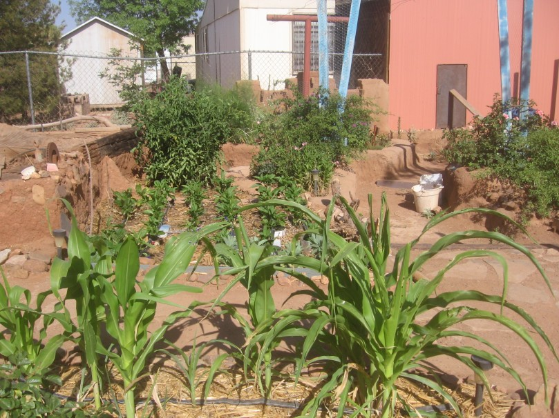 The yard is on drip irrigation - but plants are not liberally or excessively watered - so even the corn must be tough