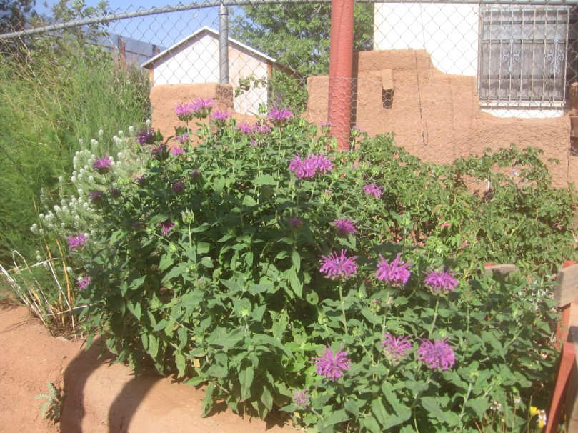 Ava's Hummingbird Mint - 2nd year - first time blooming - a native plant from Colorado - but does take more water than a true Arizona native plant
