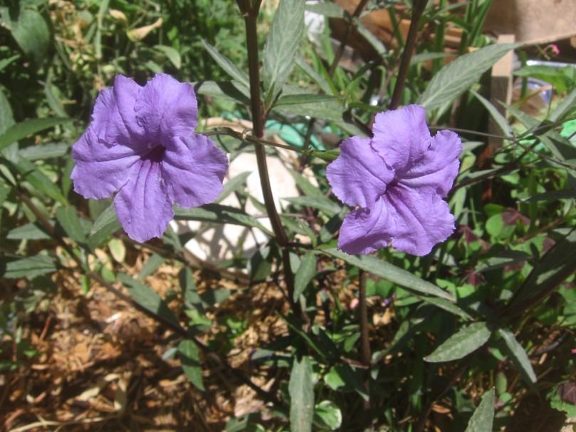 Locally known as Mexican Petunia - perennial
