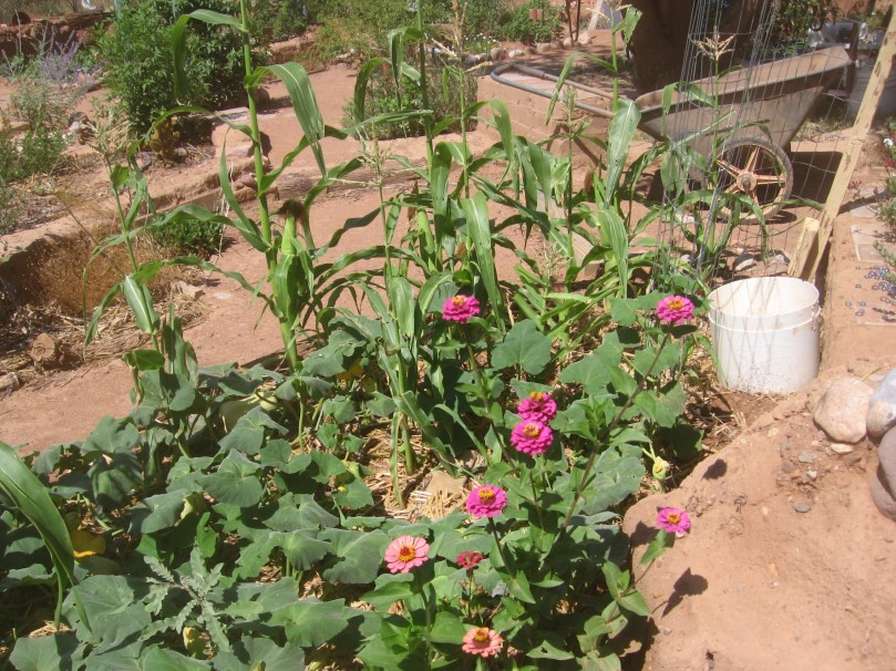 Food and flowers - Zinnias are a great flower - hardy, fast growing, not picky, lovely colors, make their own seeds