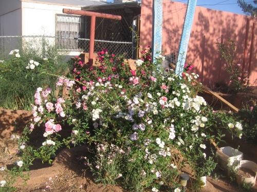 garden april 30 2013 009