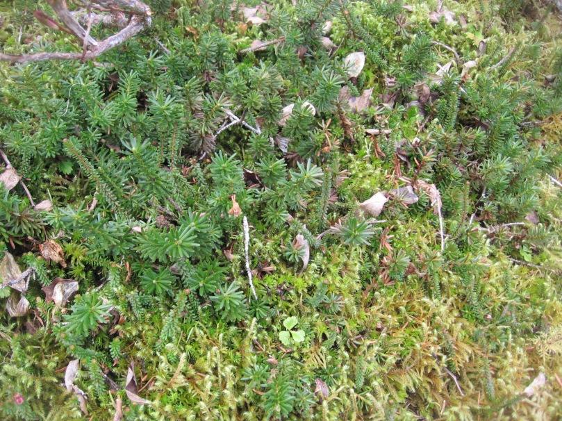 06 2013 alaska moss 1