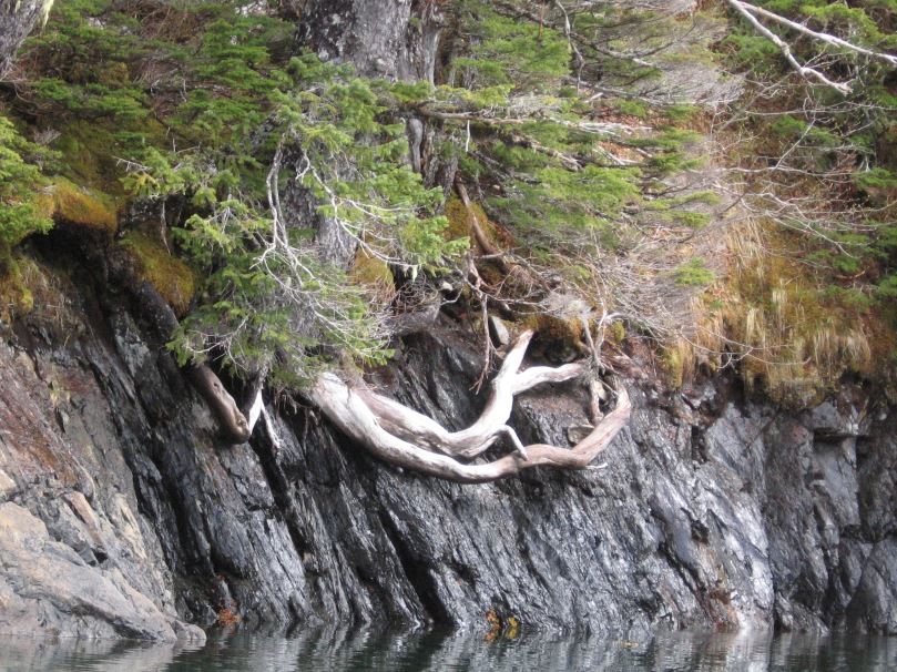 06 2013 alaska root on rock