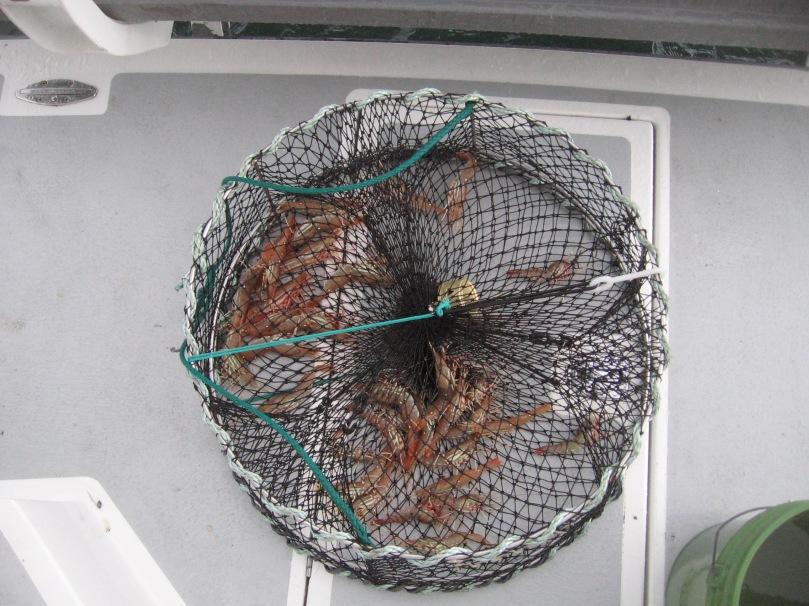 06 2013 shrimp in pot